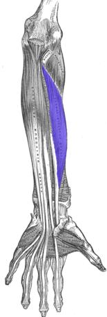 Flexor pollcis Longus