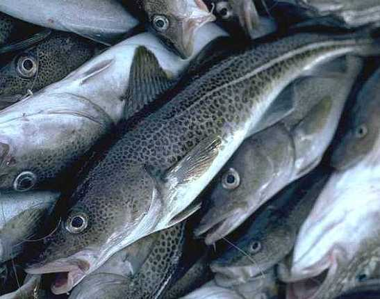 This is an army of cod. You're sooooo not afraid.